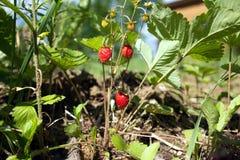 Many tasty raspberries grows closeup Stock Photos