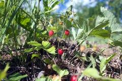 Many tasty raspberries grows closeup Stock Photo