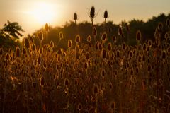 Many teasel plants and the sunset Stock Images