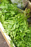 Many thai basil Royalty Free Stock Image