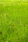 Many thai green grass Royalty Free Stock Images