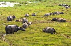 Many thai water buffaloes walking in swamp royalty free stock image
