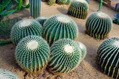 Cactus. Many thorny cactus grow in sand Royalty Free Stock Photography