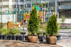 Many thujas tree with burlapped root ball prepared for planting in city park or residential building backyard. Lot of