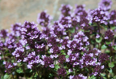 Many thyme flowers Stock Photos