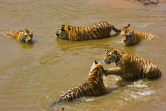 Many tigers in water. A lot of siberian tigers playing in water Royalty Free Stock Images