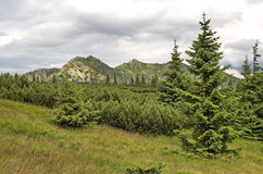 Many tints of green - knee timber, spruces  and Tatras mountains, Slovakia Royalty Free Stock Image