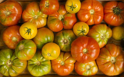 Many Tomatoes. Colorful bunch of different varieties of organic tomatoes in a harvest Royalty Free Stock Photos