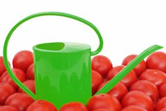 Many tomatoes and watering can Royalty Free Stock Photo