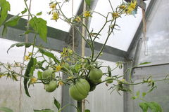 Many tomatos on one brunch. Many tomatos on the one brunch Stock Image