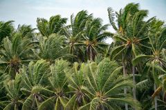 Many Top of the Coconut Trees Leaf blow by wind royalty free stock images