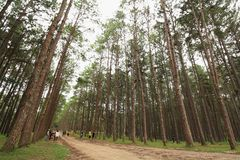 Many tourists in the natural pine forest. Royalty Free Stock Images