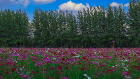 Many tourists visit the big rain tree in flower field. 4k timelapse of Many tourists visit the big rain tree in flower field stock video