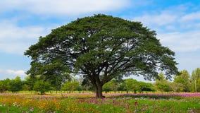 Many tourists visit the big rain tree in flower field. 4k timelapse of Many tourists visit the big rain tree in flower field stock video footage