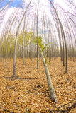 Many trees on a farm with one then is bent over Stock Photography