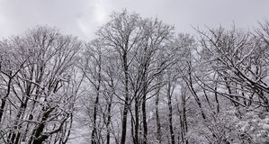 Many trees in forest at winter Royalty Free Stock Photos