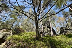 Many trees at the green hiking trail in spring at Elbe Sandstone Mountains in beautiful Saxon Switzerland near Bohemian Switzerlan. Many trees and rocks at the royalty free stock image