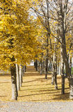 Many trees grow in row at autumn Royalty Free Stock Images