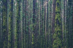 Many trees inside forest overgrown with moss royalty free stock photo