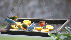 Many tropical birds at a feeder in Panama stock video