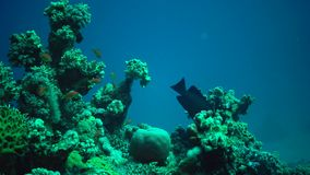 Many tropical fish hunt and swim over a coral reef. stock video footage