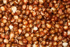 Many tulip bulb onions textural background.  Royalty Free Stock Photos