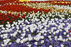 Many Tulips Stock Image