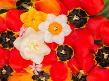 Many tulips and daffodils Stock Image