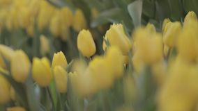 Many tulips in flower shop. Spring background with beautiful yellow tulips. Flower shop, close up stock video footage