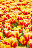 Many tulips growing in a field Stock Image