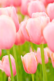 Many tulips in pink blossoming Stock Image