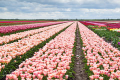Many tulips on spring dutch fields Royalty Free Stock Photography
