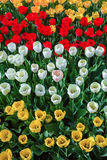 Many tulips Royalty Free Stock Images