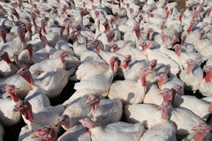 Many turkeys. Many white domestic turkeys on a farm Royalty Free Stock Images