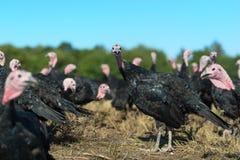 Many turkeys at the farm. Many turkeys outdoor at the farm Stock Photos