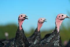 Many turkeys at the farm Royalty Free Stock Photo