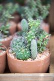Many type of cactus grow in pots Stock Photos