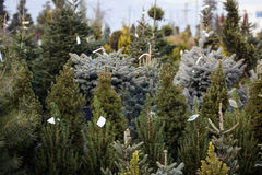 Many types of Christmas trees for sale. Horizontal photo Royalty Free Stock Image