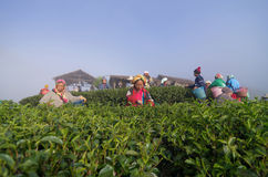 Many unidentified farmer pick in tea leaves Royalty Free Stock Image