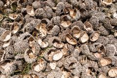 Many urchin shells left on the beach Stock Images