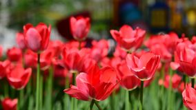 Many varietal pink tulips on  flowerbed stock video