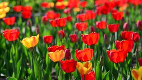 Many varietal red and orange tulips on  flowerbed. Many varietal red and orange tulips on the flowerbed stock footage
