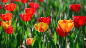 Many varietal red and orange tulips on  flowerbed stock video