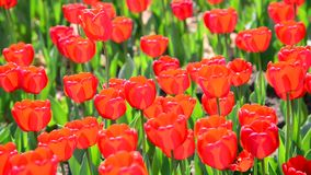 Many varietal red tulips on  flowerbed stock video