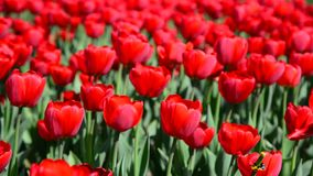 Many varietal red tulips on  flowerbed. Many varietal red tulips on the flowerbed stock video footage