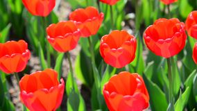 Many varietal red tulips on  flowerbed stock video footage