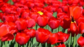 Many varietal red tulips on  flowerbed stock footage