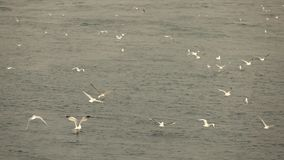 Many varieties of birds flying above sea waves. Slow motion, Full HD video, 240fps, 1080p. A lot of flying and floating seagulls birdsabove the waves. Slow stock video footage