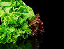 Many varieties of lettuce on black on the side Stock Images