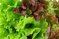 Many varieties of lettuce wallpaper Royalty Free Stock Photo
